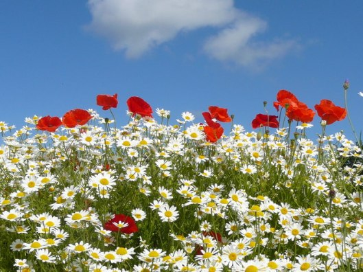 Oxeyed_daisies_and_poppies_at_henge_site,_Ness_Botanical_Gardens_-_geograph.org.uk_-_1634481.jpg