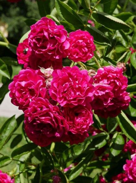 Rosarium_Baden_Rosa_'Crimson_Rambler'_Turner_1894_01.jpg